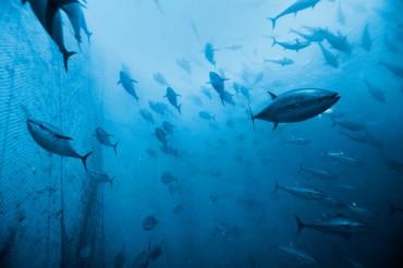 Les thons rouges capturés tournent continuellement dans les filets car leur organisme ne leur permet pas de respirer à l'arrêt © Philippe Henry / OCEAN71 Magazine