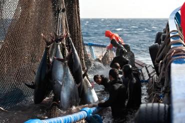 Après plusieurs mois de travail sur l'alimentaton des thons rouges, ils sont abattus et envoyé par avion pour les plus gros ; par bateaux reefer pour les autres ©Philippe Henry / OCEAN71 Magazine
