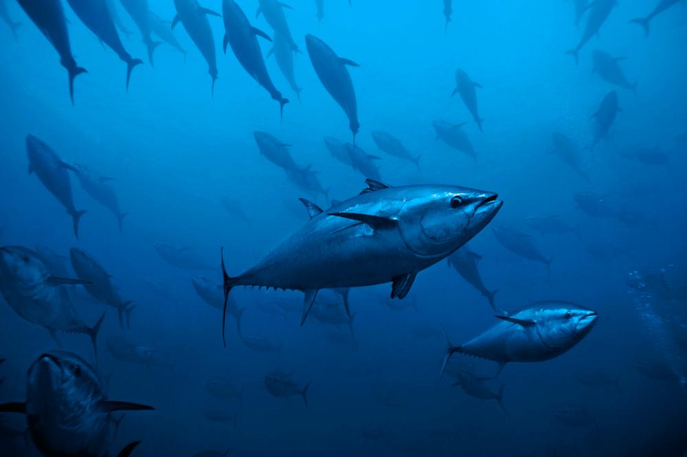 High risks of fraudulent bluefin tuna fishing in north for Bluefin tuna fishing