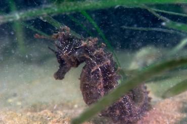 Un hippocampe moucheté (hippocampus guttulatus). Ces poissons vivent dans les herbiers de zostères où ils trouvent leur nourriture © Philippe Henry / OCEAN71 Magazine