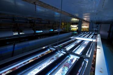 De puissants néons apportent lumière et chaleur aux boutures de coraux © Philippe Henry / OCEAN71 Magazine