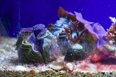Un bénitier (Tridacna Maxima) à coté d'une bouture de Seriatopora Hystrix (Sériatopore Epineux/ Needle Coral) Cependant, l'image est troublé par la présence de parasites (aptasia). © Philippe Henry / OCEAN71 Magazine
