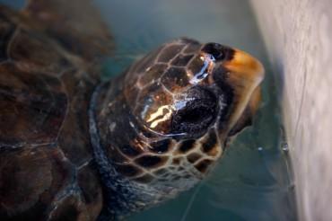 La tortue malade attend comme toutes les autres l'heure de son opération au centre chirurgical de Lampedusa © Philippe Henry / OCEAN71 Magazine