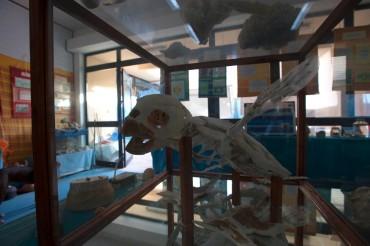 Le squelette d'une tortue marine a été reconstitué, et mis en exposition au centre afin que l'on comprenne mieux l'anatomie de cet animal © Philippe Henry / OCEAN71 Magazine