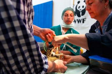 Pour pouvoir intuber la tortue marine, le chirurgien et Daniela Freggi doivent maintenir la mâchoire de la tortue ouverte avec d'importants élastiques. Avec sa mâchoire puissante, la tortue pourrait les mordre violemment © Philippe Henry / OCEAN71 Magazine