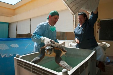 The turtle will stay several days under observation in the tanks at the centre. Daniela administers antibiotics and verifies that the air that got captured in the turtle intestine has disappeared so that it will again be able to dive © Philippe Henry / OCEAN71 Magazine