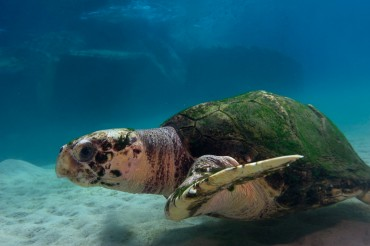 """Humerus"" enjoying its weekly dip in the Mediterranean © Philippe Henry / OCEAN71 Magazine"