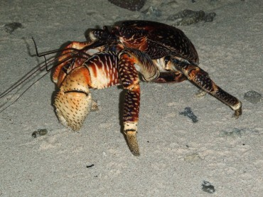 The coconut crab is the largest land-living crab. Its delicious meat almost brought the species to extinction. But coconut crab community is protected in the Chagos reserve, and is thriving © Michael Barzam