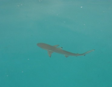 A blacktip reef shark seen from the boat. Here in the Chagos Marine Reserve, it can calmly swim where it wants, without having to fear fishermen © Michael Barzam