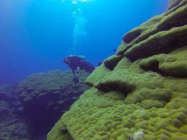 """Les Porites sont parmi les coraux les plus durs. Ils sont surnommés """"bâtisseurs de récifs"""" © Sophie Ansel / OCEAN71 Magazine"""