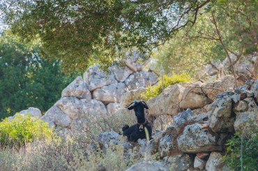 A goat is jealously guarding the archaeological ruins of Alalcomenia © Philippe Henry / OCEAN71 Magazine