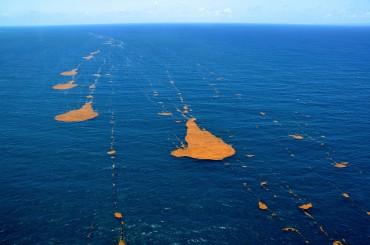 Plaque de sargasses en Atlantique. Suivant les courant, celles-ci peuvent être croisées par les navires de façon plus ou moins concentrées © Frank Mazéas
