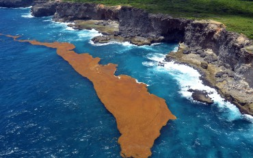 "Once it reaches the coast, the sargassum covers everything and is sometimes referred to as ""Golden Tide"" © Franck Mazéas"