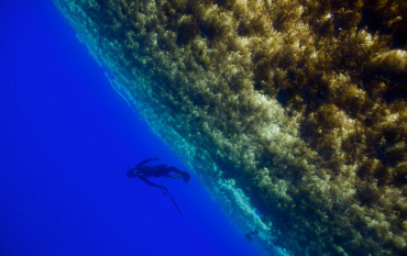 "The sargassum seaweed offers protection and food to countless species of animals, and the Sargasso Sea has therefore been protected as an ""Essential Fish Habitat"" since 1996 © Franck Mazéas"