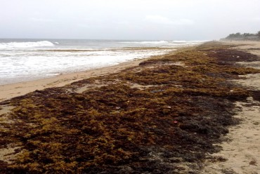 On a white sandy beach of the Côte d'Ivoire in 2015, the locals and tourists were once again faced with large amounts of seaweed © Yacouba Sankaré