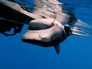 Un requin tigre est placé sur le dos après avoir été pêché. Il recevra une balise sous-cutanée avant d'être relâché. © Estelle Crochelet - IRD-Programme CHARC