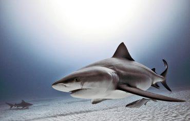 Un requin bouledogue s'approche de la caméra pour afficher ses petits yeux et son réseau d'ampoules de Lorenzini (multitude de taches noires sur la face ventrale de la tête) © Jorge Hauser