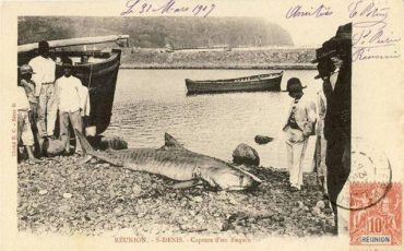 Une carte postale datée du 31 mars 1907 montre un requin tigre capturé à Saint-Denis © Comité Régional des Pêches Maritimes et des Élevages Marins de La Réunion