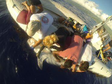 Dans le cadre du programme CHARC, un requin a été capturé et retourné sur le dos pour lui insérer une balise dans le ventre © Guillaume Levieux