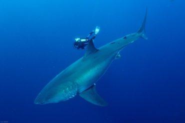 François Sarano a plongé avec certains des plus gros prédateurs marins, ici un grand requin blanc d'une taille imposante © Aldo Ferrucci