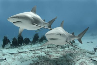 Two bull sharks peacefully swim in front of a crowd of attentive divers in Playa del Carmen, Mexico © Phantom Divers
