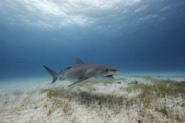 A tiger shark seems to be flying through crystal clear waters © Jorge Hauser