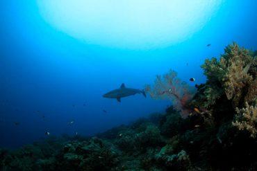 Un requin nage dans les eaux Réunionnaises © Eric Hoarau